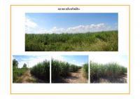 ที่ดินเปล่าแปลงใหญ่หลุดจำนอง ธ.ธนาคารธนชาต ไร่ใหม่พัฒนา ชะอำ เพชรบุรี